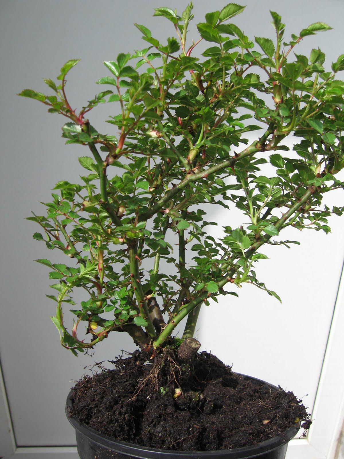 bonsai das sch nste hobby der welt zwergrose 39 lilliputs 39 als bonsai geeignet. Black Bedroom Furniture Sets. Home Design Ideas