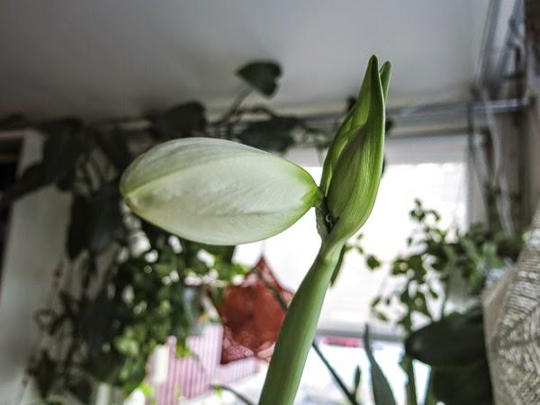amaryllis, alfresco