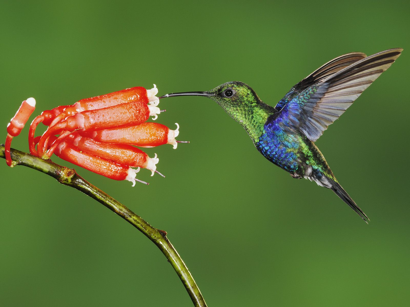 Wide Screen Humming Bird Sketches Pc Wallpapers