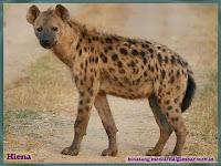 gambar hiena