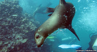 Sea Lion Swimming underwater at Isla Lobos, San Cristobal, Galapagos