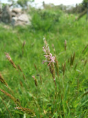 Sweet Vernal Grass (Anthoxanthum odoratum 2