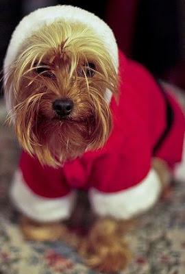 Perro+en+Navidad Imagenes chistosas de perros navideño