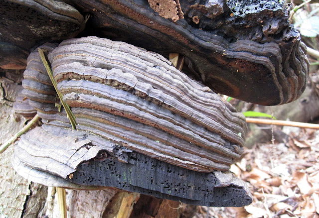 Bracket fungus, old and dead. 18 February 2012.