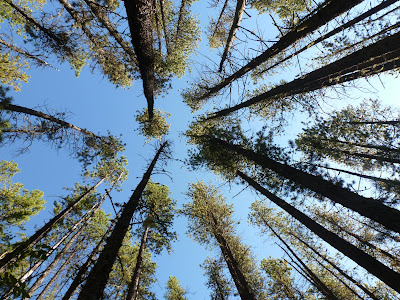 A look up through the pines