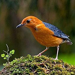 Burung Anis Merah Yang Baik