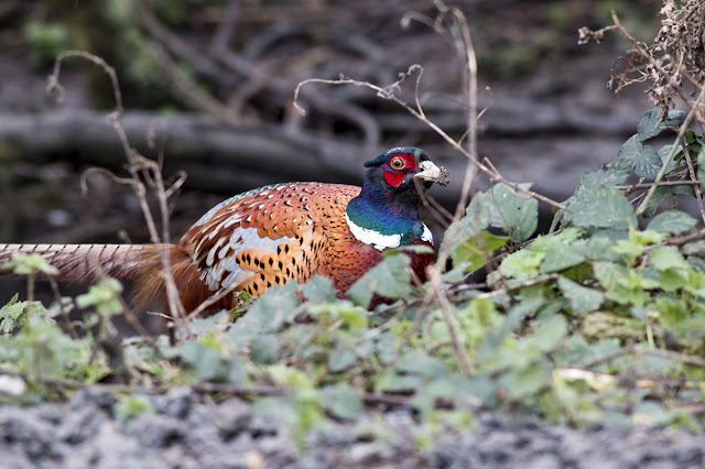 Common Pheasant at the Feeding Station, Elmley