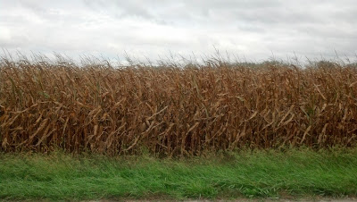 corn field in Ohio on a blustery, rainy day. near harvest
