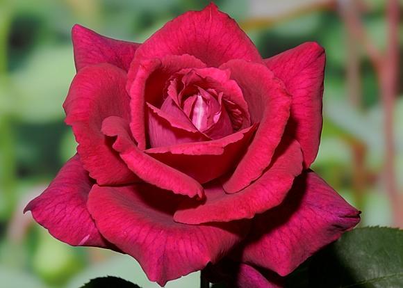 Grafin Diana rose сорт розы фото
