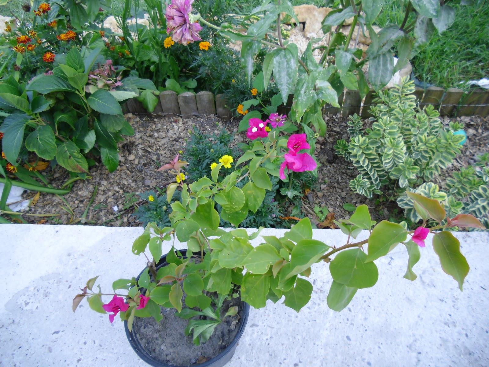 Le jardin des lutins pr paration des massifs avec l 39 arriv e de l 39 automne - Bouture de l hibiscus de jardin ...