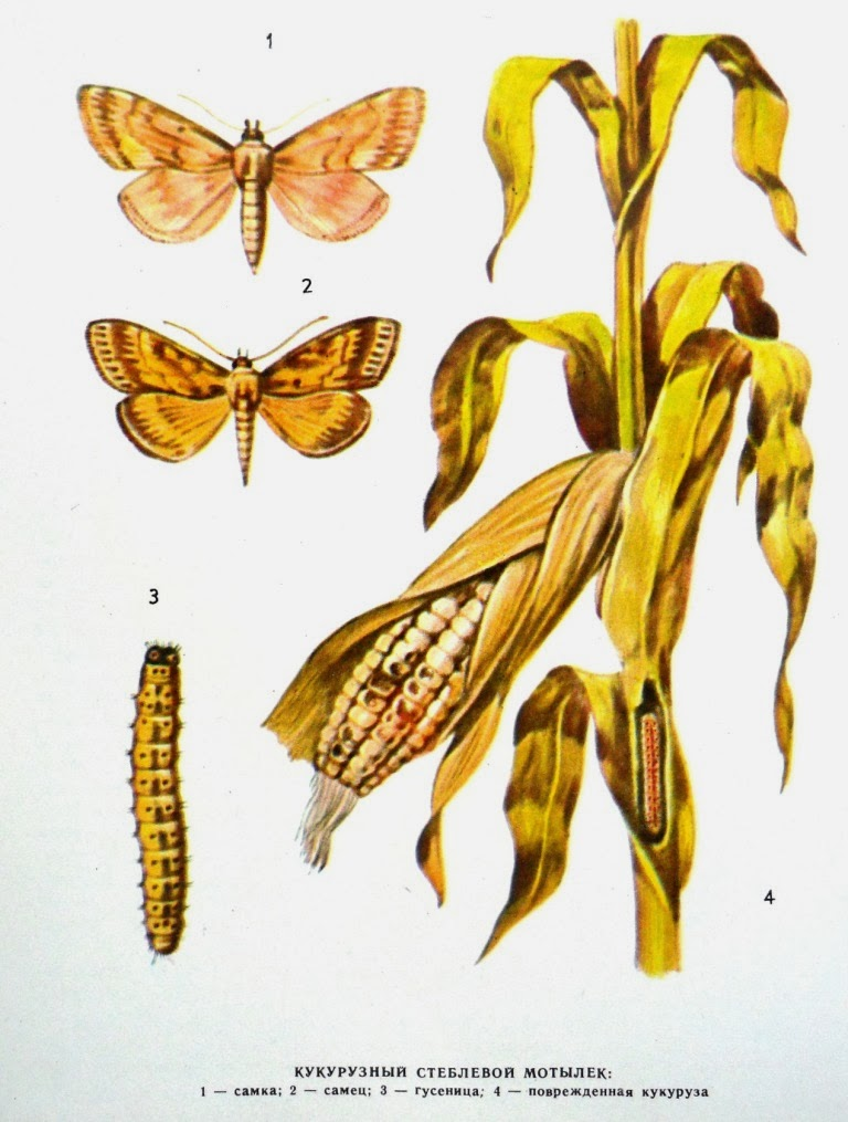 Кукурузный (стеблевой) мотылек