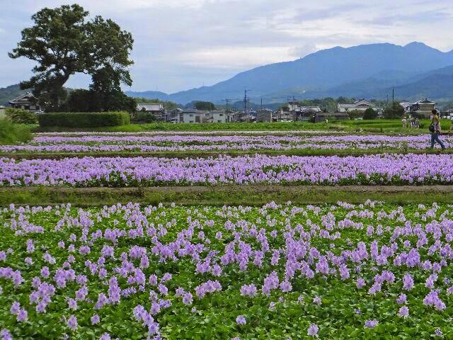 休耕田1.4haに1万4千株のホテイアオイが植栽されている。
