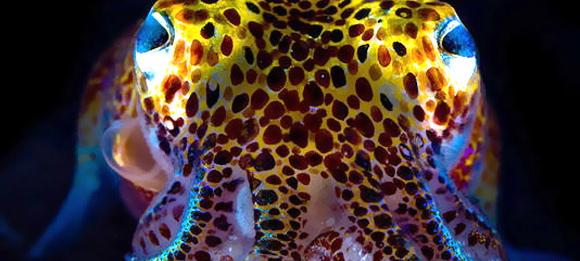 Calamar hawaiano (Euprymna scolopes)