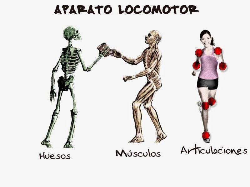 educando chicoooos =O): sistema locomotor del cuerpo humano: huesos ...