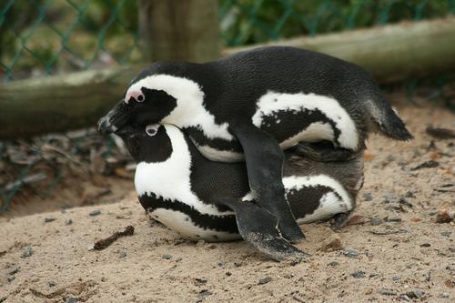 Sex penguins, xxxoldpussy
