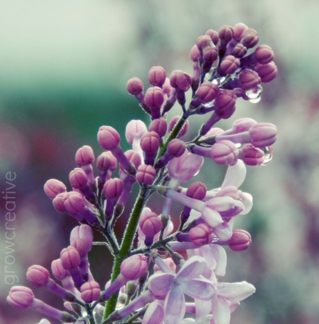 purple lilacs with rain drops: growcreative