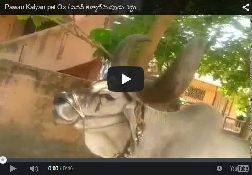 Pawan Kalyan pet Ox | Awesome | Must Watch And Share