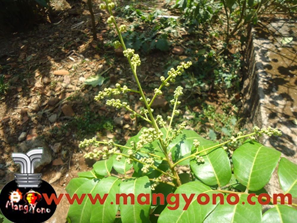 Pohon Lengkeng pada waktu berbunga. Poto Jepretan Admin 1 bulan yang lalu.