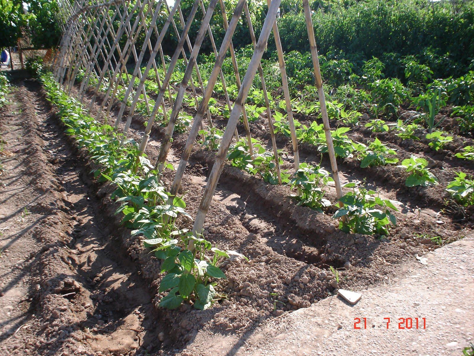 El huerto de balsas el huerto d a a d a - Cultivar judias verdes ...