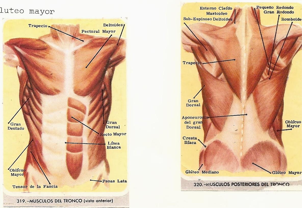 Músculo de deltoid de extremidades - Anatomía de Muslo , Origen ...