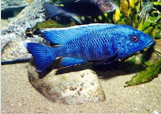 Cá ali xanh