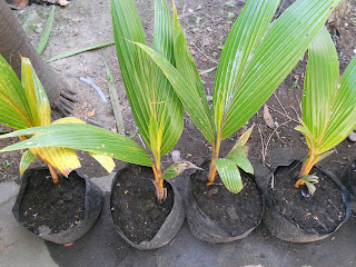 my dwarf coconut seedlings