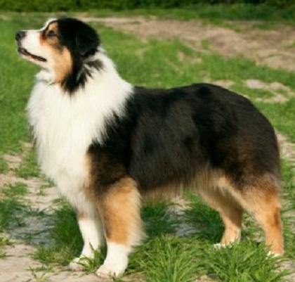 Medium size dogs breeds medium sized dog breeds australian shepherd