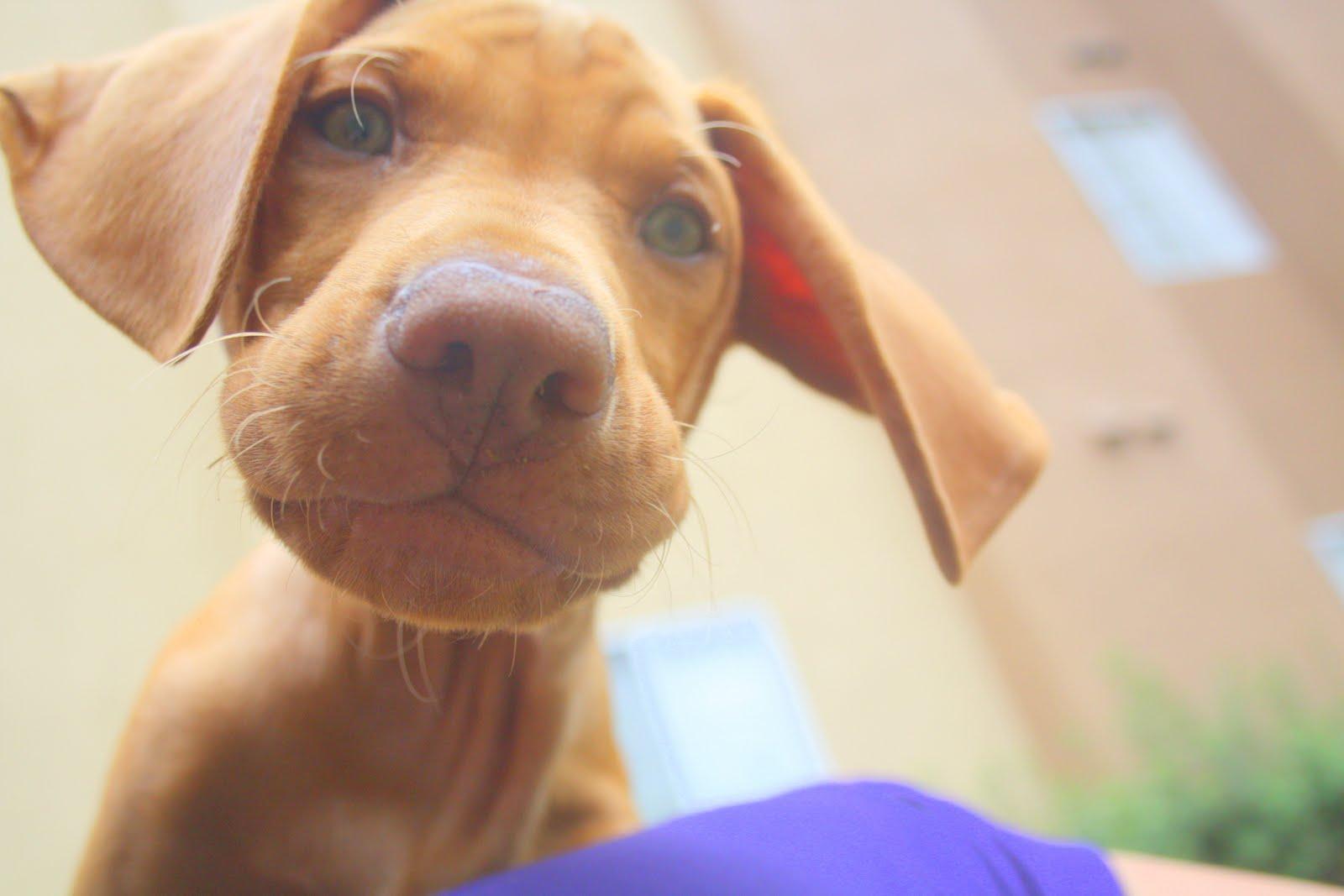 ... sale weimaraner puppies cute vizsla and weimaraner puppies funny Weimaraner For Sale