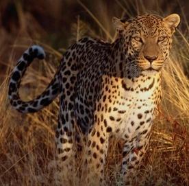 Leopardo caminando sobre hierbas secas