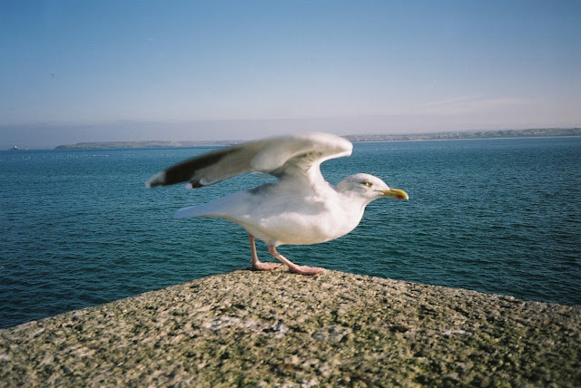 Gull friend take off St Ives quay side Cornwall