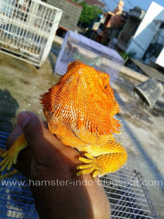 Jual  Bearded Dragon