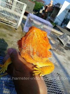 Jual  Bearded Dragon