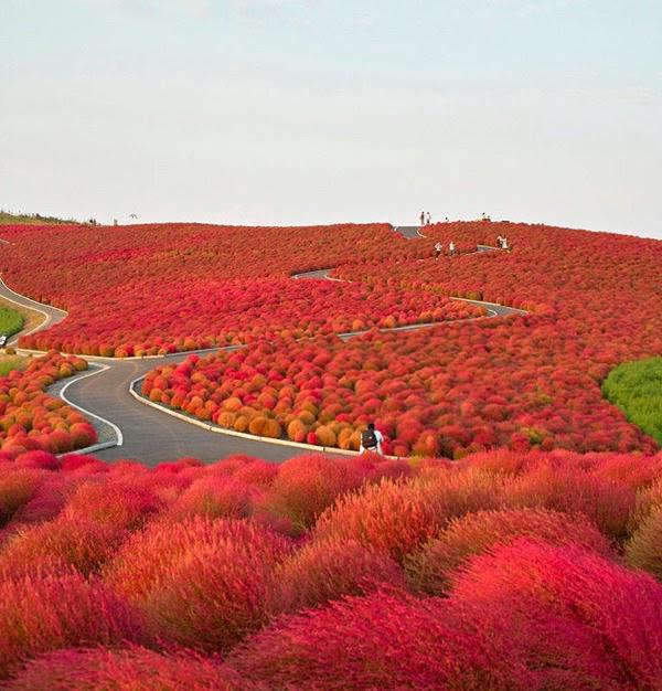 Keindahan Kochia Flower