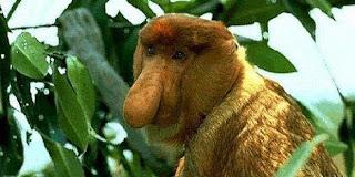 Ada Monyet Makan seperti Sapi