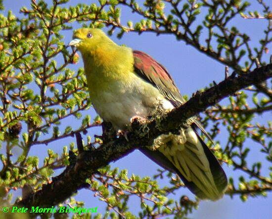 Yellow bellied green pigeon