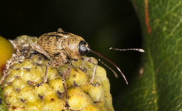 Acorn Weevil (probably), Curculio glandium.  Curculionidae.  West Wickham Common, 23 September 2015