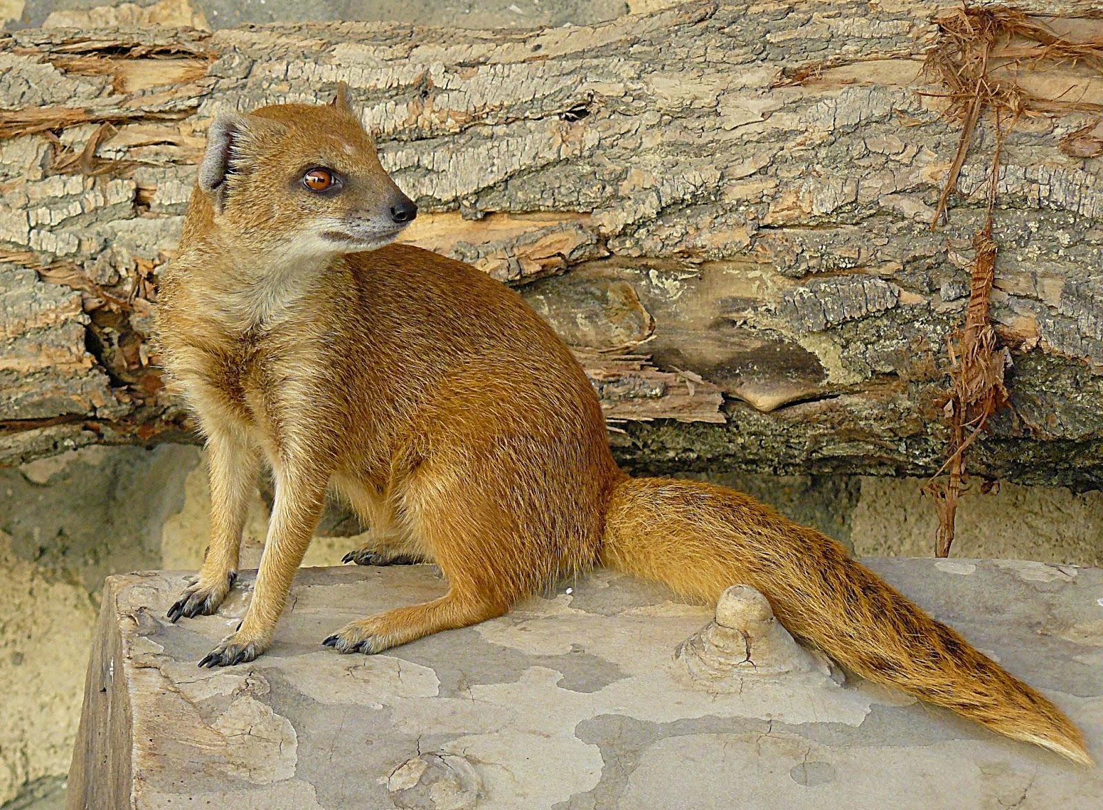 Yellow Mongoose nama hewan dari huruf Y