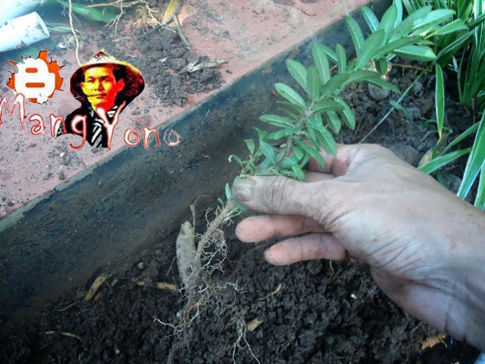 Gb. 2. Letakan tanaman pada galian tanah yang sudah dibuat tadi