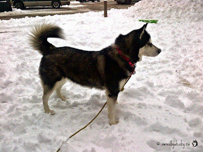 Siberian Husky Tail in a sickle position