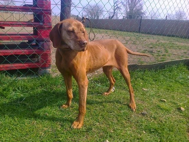 Jack Russell Terrier Jack Russell Terrier Tierfotoagentur
