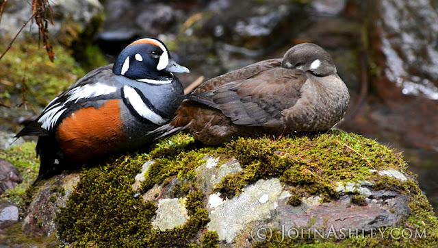 Harlequin Duck pair (c) John Ashley