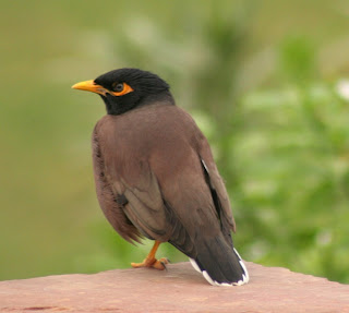 Mynah Bird Pictures