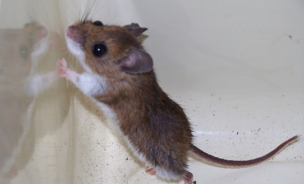 House mouse vs deer mouse images