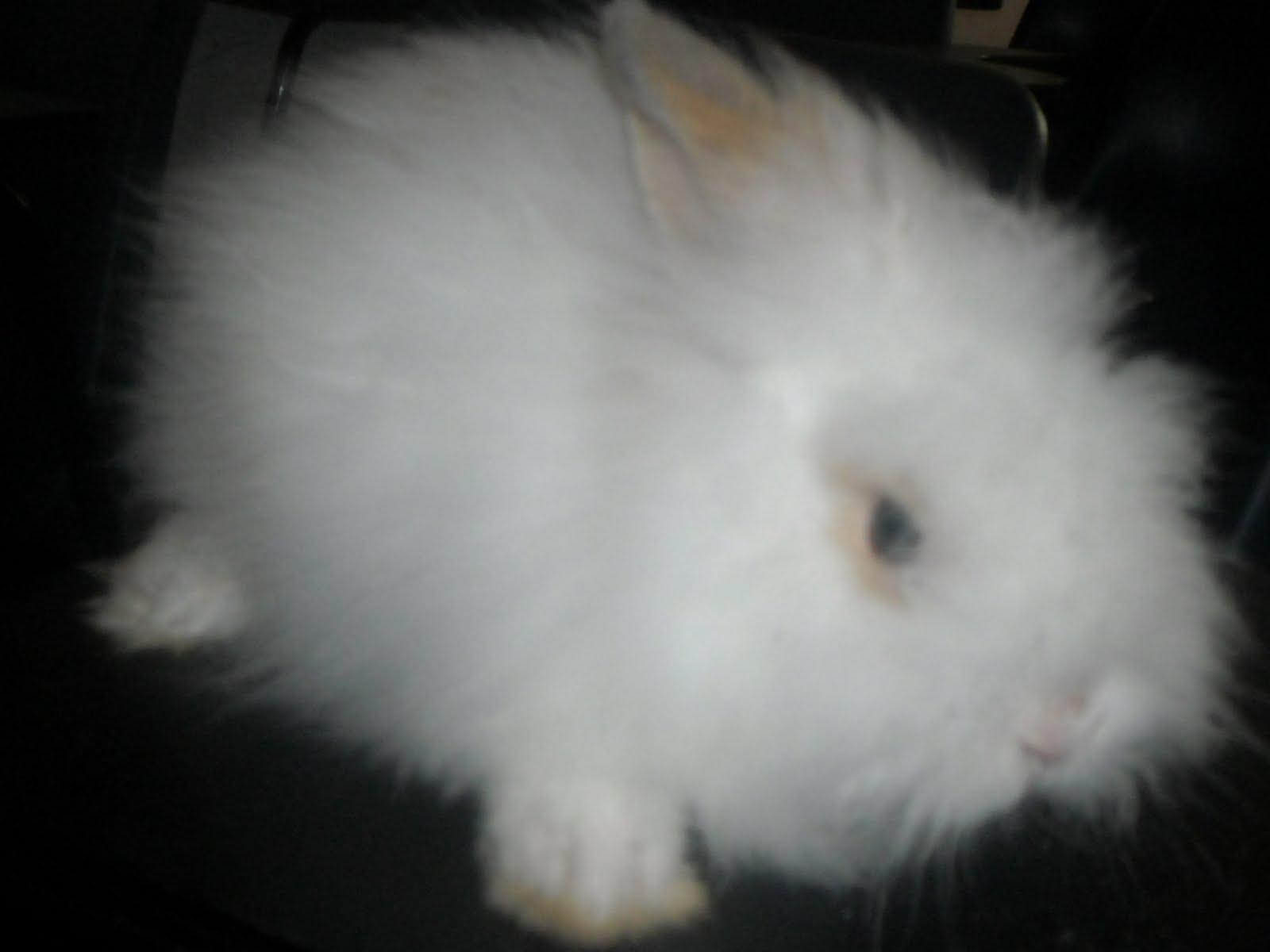 Arnab Changlun Rabbits Jenis Jenis Arnab