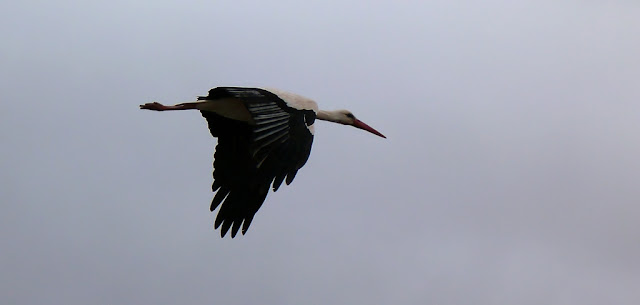 cigüeña blanca volando