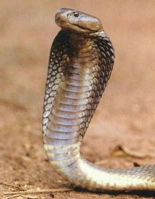 Gambar Ular Kobra Pictures