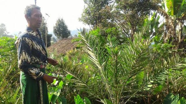 Subhanallah . . . Pohon Kurma Tumbuh di Kabupaten Bandung