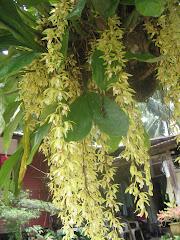 Bunga Orkid Tasbih