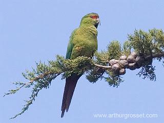 Bosque Andino Patagonico: Choroy02
