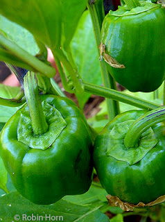 Three Green Peppers on Plant